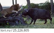 Купить «Male lion (Panthera leo) in confrontation with Cape buffalo (Syncerus caffer). Masai Mara National Reserve, Kenya, July», фото № 25226805, снято 17 августа 2018 г. (c) Nature Picture Library / Фотобанк Лори