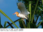 Купить «Cattle Egret (Bubulcus ibis) in breeding plumage, balancing on palm leaf, India», фото № 25227689, снято 25 мая 2019 г. (c) Nature Picture Library / Фотобанк Лори
