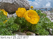 Купить «Apennine pheasant's eye (Adonis distorta) in flower,  endemic to the Appennines. Gran Sasso, Appennines, Abruzzo, Italy, June», фото № 25227817, снято 15 августа 2018 г. (c) Nature Picture Library / Фотобанк Лори