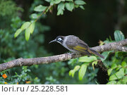 Купить «Belford's Honeyeater (Meledictes belfordi) perched on branch, Kumul Lodge, Western Highlands, Papua New Guinea», фото № 25228581, снято 22 мая 2019 г. (c) Nature Picture Library / Фотобанк Лори