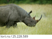 Купить «Black rhino (Diceros bicornis) female, Nakuru National Park, Kenya», фото № 25228589, снято 18 августа 2018 г. (c) Nature Picture Library / Фотобанк Лори