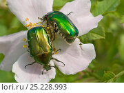 Купить «Rose Chafer beetle (Cetonia aurata) feeding on rose flower pollen, Torrealfina, Orvieto, Italy, May», фото № 25228993, снято 16 июля 2018 г. (c) Nature Picture Library / Фотобанк Лори