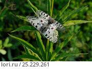 Купить «Parnassian Nomion (Parnassius nomion) butterflies mating,  Central Sikhote-Alin, Primorskiy krai, The Far East, Russia, July 2011», фото № 25229261, снято 14 ноября 2018 г. (c) Nature Picture Library / Фотобанк Лори