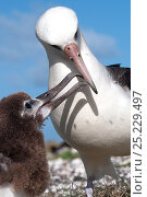Laysan Albatross (Phoebastria immutabilis) parent bird feeding juvenile. Midway Island. Central Pacific. Стоковое фото, фотограф Michael Pitts / Nature Picture Library / Фотобанк Лори