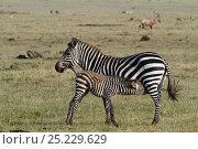 Grant's zebra (Equus burchelli boehmi) mother with suckling calf, Masai-Mara Game Reserve, Kenya. Стоковое фото, фотограф Denis-Huot / Nature Picture Library / Фотобанк Лори