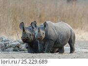 Купить «Black rhino (Diceros bicornis) mother and young, Nakuru National Park, Kenya. Critically endangered species.», фото № 25229689, снято 18 августа 2018 г. (c) Nature Picture Library / Фотобанк Лори