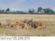Cape eland (Taurotragus oryx) herd.  Masai-Mara game reserve, Kenya. Стоковое фото, фотограф Denis-Huot / Nature Picture Library / Фотобанк Лори