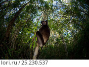 Indri (Indri indri) with wide angle view of tropical rainforest canopy... Стоковое фото, фотограф Andy Rouse / Nature Picture Library / Фотобанк Лори