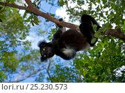 Купить «Indri (Indri indri) portrait in tropical rainforest habitat. Madagascar.», фото № 25230573, снято 10 июля 2020 г. (c) Nature Picture Library / Фотобанк Лори