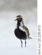 Golden plover (Pluvialis apricaria) in breeding plumage standing in the snow, Iceland, June. Bookplate from Danny Green's 'The Long Journey North' Стоковое фото, фотограф Danny Green / Nature Picture Library / Фотобанк Лори