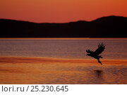 White tailed Sea Eagle (Haliaeetus albicilla) catching a fish at dusk, Norway, January . Bookplate from Danny Green's 'The Long Journey North' Стоковое фото, фотограф Danny Green / Nature Picture Library / Фотобанк Лори