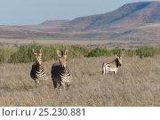 Hartmann's mountain zebra (Equus zebra hartmannae) in the Damaraland, Namibia. Стоковое фото, фотограф Denis-Huot / Nature Picture Library / Фотобанк Лори