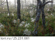 Купить «Pine trees growing in bog habitat with understorey vegetation covered with spiders' webs,  misty  morning, Etonia, August 2011.», фото № 25231081, снято 27 апреля 2018 г. (c) Nature Picture Library / Фотобанк Лори