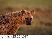 Купить «Spotted hyena (Crocuta crocuta) portrait. Masai Mara National Reserve, Kenya, July», фото № 25231097, снято 11 июля 2020 г. (c) Nature Picture Library / Фотобанк Лори