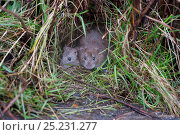 Купить «Brown Rats (Rattus norvegicus). Norfolk, November.», фото № 25231277, снято 16 октября 2018 г. (c) Nature Picture Library / Фотобанк Лори