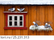 Kittiwakes (Risa tidactyla) nesting on an old building, Varanger, Finland, March 2011. Bookplate from Danny Green's 'The Long Journey North' Стоковое фото, фотограф Danny Green / Nature Picture Library / Фотобанк Лори