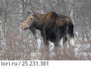 Купить «Female Moose (Alces alces) in woodland. Kronotsky Zapovednik Nature Reserve, Kamchatka Peninsula, Russian Far East, November.», фото № 25231381, снято 17 октября 2018 г. (c) Nature Picture Library / Фотобанк Лори