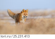 Купить «Red Fox (Vulpes vulpes) in dry grasses showing similarity of colouring between fur and grass. Kronotsky Zapovednik Nature Reserve, Kamchatka Peninsula, Russian Far East, July.», фото № 25231413, снято 23 мая 2018 г. (c) Nature Picture Library / Фотобанк Лори