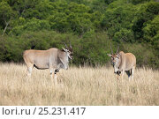 Cape eland (Taurotragus oryx) male, Masai-Mara game reserve, Kenya. Стоковое фото, фотограф Denis-Huot / Nature Picture Library / Фотобанк Лори