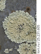 Купить «Lichen (Parmelia caperata) on gravestone, Devon, England, July», фото № 25231605, снято 26 мая 2018 г. (c) Nature Picture Library / Фотобанк Лори