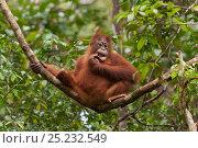 Bornean Orangutan (Pongo pygmaeus wurmbii) juvenile in tree, Tanjung... Стоковое фото, фотограф Jurgen Freund / Nature Picture Library / Фотобанк Лори