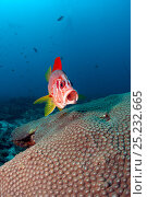 Купить «Long jawed / Sabre squirrelfish (Sargocentrum spiniferum) approaching cleaning station with mouth open, Maldives, Indian Ocean», фото № 25232665, снято 26 марта 2019 г. (c) Nature Picture Library / Фотобанк Лори