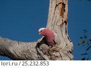 Galah cockatoo (Eolophus roseicapilla) outside its nest, South Australia... Стоковое фото, фотограф Jurgen Freund / Nature Picture Library / Фотобанк Лори