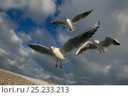 Купить «Black headed Gulls (Larus ridibundus) in flight in winter, East Anglia, January», фото № 25233213, снято 20 июля 2018 г. (c) Nature Picture Library / Фотобанк Лори