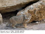 Купить «Sand Cat (Felis margarita) standing profile, captive», фото № 25233657, снято 7 мая 2019 г. (c) Nature Picture Library / Фотобанк Лори