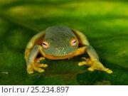 Купить «Orange-thighed Frog (Litoria xanthomera) portrait, Queensland, Australia.», фото № 25234897, снято 20 июля 2019 г. (c) Nature Picture Library / Фотобанк Лори