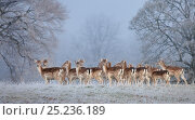 Young Fallow Deer (Dama dama) on a frosty morning, Chatsworth, Peak District National Park, UK. December. Стоковое фото, фотограф Alex Hyde / Nature Picture Library / Фотобанк Лори