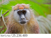 Купить «Patas Monkey / Wadi monkey / Hussar monkey (Erythrocebus patas)  Laikipia game reserve, Kenya, Africa.», фото № 25236489, снято 24 мая 2018 г. (c) Nature Picture Library / Фотобанк Лори