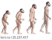 Купить «Illustration of human evolution from left to right Australopithecus afarensis, Australopithecus africanus, Homo erectus and Homo sapiens. Pencil and watercolor painting.», фото № 25237417, снято 16 октября 2019 г. (c) Nature Picture Library / Фотобанк Лори