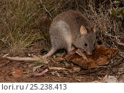 Rufous Bettong (Aepyprymnus rufescens) at Porcupine Gorge National... Стоковое фото, фотограф Jurgen Freund / Nature Picture Library / Фотобанк Лори