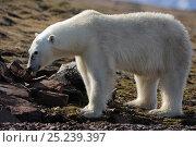 Купить «Polar Bear (Ursus maritimus) feeding on eggs possibly  taken from Skua's nest, Svalbard, Norway, July», фото № 25239397, снято 22 января 2019 г. (c) Nature Picture Library / Фотобанк Лори
