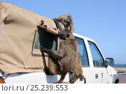 Купить «Chacma baboon (Papio hamadryas ursinus) trying to break into vehicle. Cape Point, Table Mountain National Park, Cape Town, South Africa, October», фото № 25239553, снято 12 ноября 2019 г. (c) Nature Picture Library / Фотобанк Лори