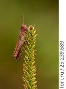 Купить «Meadow grasshopper (Chorthippus parallelus), Coombes Dale, Derbyshire UK», фото № 25239689, снято 15 декабря 2017 г. (c) Nature Picture Library / Фотобанк Лори