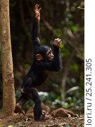 Купить «Western chimpanzee (Pan troglodytes verus)   infant male 'Flanle' aged 3 years spinning in circles, Bossou Forest, Mont Nimba, Guinea. January 2011.», фото № 25241305, снято 21 января 2018 г. (c) Nature Picture Library / Фотобанк Лори