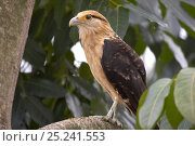 Купить «Yellow-headed Caracara (Milvago chimachima). Gamboa, Soberania National Park, Panama.», фото № 25241553, снято 20 марта 2019 г. (c) Nature Picture Library / Фотобанк Лори