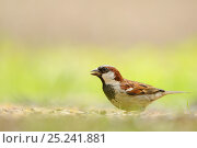 Купить «Male House sparrow (Passer domesticus) feeding on the ground, Perthshire, Scotland, UK, July.», фото № 25241881, снято 19 июля 2018 г. (c) Nature Picture Library / Фотобанк Лори