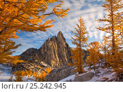 Купить «Morning sunshine at Prusik Peak with larch trees,  and a rare dusting of early winter snow in the Enchantments, a spectacular alpine area, Washington State, USA. October 2011.», фото № 25242945, снято 19 июля 2018 г. (c) Nature Picture Library / Фотобанк Лори