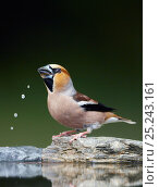 Hawfinch (Coccothraustes coccothraustes) drinking, Hungary, May. Fascinating birds bookplate. Стоковое фото, фотограф Markus Varesvuo / Nature Picture Library / Фотобанк Лори
