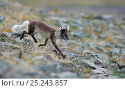 Купить «Arctic fox (Alopex lagopus) in summer coat, walking, Svalbard, Norway, July», фото № 25243857, снято 18 марта 2019 г. (c) Nature Picture Library / Фотобанк Лори