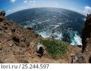 Купить «Light-mantled Albatross (Phoebetria palpebrata) at nesting site on cliffs above ocean, Auckland Islands, New Zealand. November.», фото № 25244597, снято 5 июля 2020 г. (c) Nature Picture Library / Фотобанк Лори