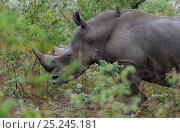 Купить «White rhinoceros (Cerathorium simum) profile portrait in bush, iMfolozi National Park, South Africa», фото № 25245181, снято 15 февраля 2019 г. (c) Nature Picture Library / Фотобанк Лори