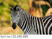 Купить «Common zebra (Equus quagga) profile portrait, Durban, South Africa», фото № 25245689, снято 24 августа 2019 г. (c) Nature Picture Library / Фотобанк Лори