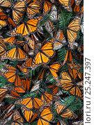 Monarch butterfly (Danaus plexippus) hibernating, Mariposa Monarca Special Biosphere Reserve, central Mexico, January. Стоковое фото, фотограф Claudio Contreras / Nature Picture Library / Фотобанк Лори