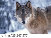 Купить «Grey wolf (Canis lupus) adult portrait in the snowy foothills of the Takshanuk mountains, South-East Alaska, USA», фото № 25247577, снято 7 февраля 2020 г. (c) Nature Picture Library / Фотобанк Лори
