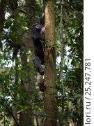 Купить «Western lowland gorilla (Gorilla gorilla gorilla) sub-adult male 'Kunga' aged 13 years climbing down a tree, Bai Hokou, Dzanga Sangha Special Dense Forest...», фото № 25247781, снято 21 июля 2019 г. (c) Nature Picture Library / Фотобанк Лори