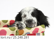 Купить «Black and white Border Collie x Cocker Spaniel puppy, 11 weeks, asleep in a basket.», фото № 25248281, снято 27 апреля 2018 г. (c) Nature Picture Library / Фотобанк Лори